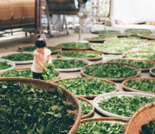 Zubereitung von grünem Tee ist gesund